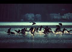 Take off from Idylwood (sparth) Tags: seattle park morning birds early washington flock flight off taking takeoff bellevue envol 100400l idylwood idylwoodpark 5dmarkii