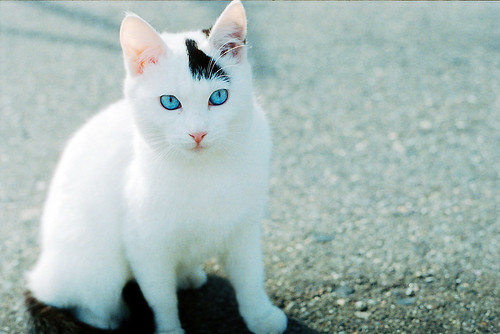 white cat blue eyes