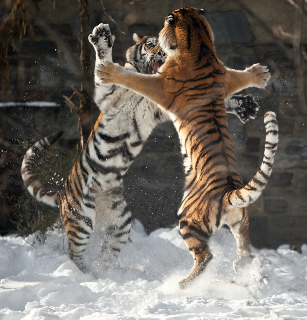 Cat Fight in the Snow by Pat Murray