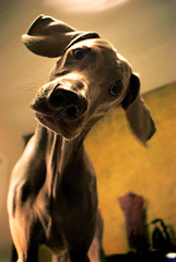 a thousand words (saikiishiki) Tags: portrait dog love sidekick face look neck nose poser eyes friend sweet head adorable ears best weimaraner stare tilt uncropped 2009 omoshiroi weim mukha 4952 thelittledoglaughed 52weeksfordogs 52weeksofmukha