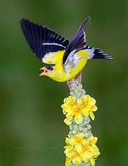 American goldfinch squawking from mullein plant (Edward Mistarka) Tags: brown black cute green bird feet nature birds yellow outdoors colorful background maryland sharp single revolution argument conflict rebellion daytime perched inspirational revolt alert debate stationary shouting americangoldfinch ecofriendly repulse carduelistristis mouthopen shoutout strife squawk resolve abrasive verbascumthapsus agitation commonmullein squawking argumentative birdperched saariysqualitypictures environmenthealthy birdsquawking goldfinchsquawking
