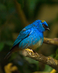 Golden-naped Tanager On Perch (aeschylus18917) Tags: blue bird nature japan 50mm zoo tokyo nikon wildlife aves   tanager tangara uenozoo nkon nikkor50mmf14d passeriformes 50mmf14d thraupidae 50mm14d  d700 onshiuenodbutsuen goldennapedtanager tangararuficervix nikond700 danielruyle aeschylus18917 danruyle druyle