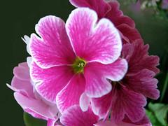p r i m u l a s ( Graa Vargas ) Tags: pink flower primula graavargas primulaxpolyantha 2010graavargasallrightsreserved 18107250410