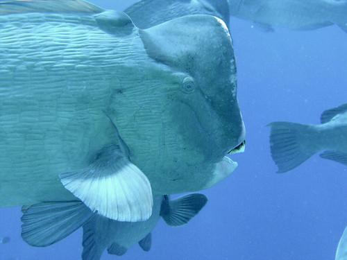 pez malasia grande