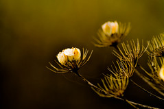 Forsaken... (Chris H#) Tags: winter brown macro green yellow northamptonshire dry dried forsaken s3000 sywellcountrypark nikond5000