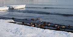ducks at the edge of the water (MatiasSingers) Tags: ocean winter snow cold bird ice water sunshine birds swimming boats boat frozen duck freezing ducks iced