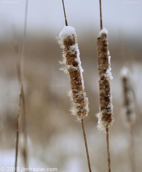 Winter Cattails
