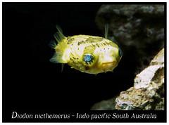 Diodon nicthemerus_800_2 (Bruno Cortada) Tags: malawi marino mbunas cclidos sudafricanos tanganyica