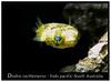 Diodon nicthemerus_800_2 (Bruno Cortada) Tags: malawi marino mbunas cíclidos sudafricanos tanganyica