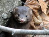 Them There Eyes - American Mink (flipkeat) Tags: wild portrait cute animal animals closeup digital port different nocturnal photos unique wildlife awesome credit american mink cutiepie unusual mississauga vison mustelavison belette americanmink minkur vosplusbellesphotos neovison dschx1