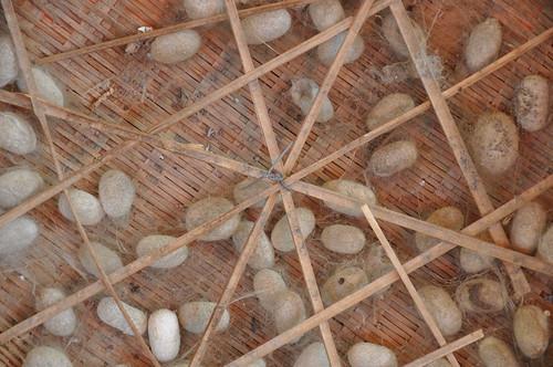 Capullos de gusanos de seda