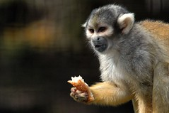 Snack Time (John 3000) Tags: animals hawaii monkeys hi animales bigisland hilo outlaws zoos primates squirrelmonkey monos panaewarainforestzoo