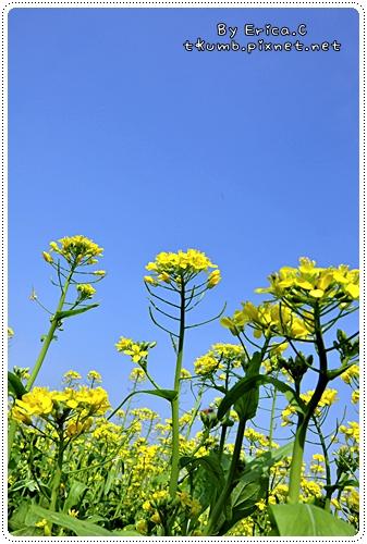 油菜花 (5)