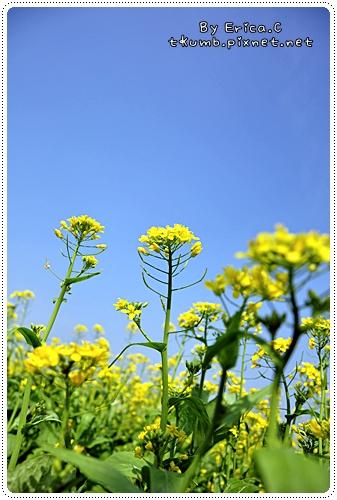 油菜花 (4)