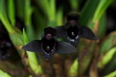 Maxillaria schunkeana (Eric Hunt.) Tags: california black orchid flower orchidaceae sanmateo maxillaria orchidmania maxillariaschunkeana