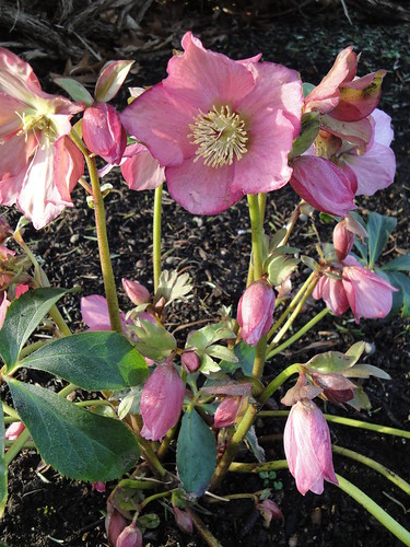 Hellebore Walburtons Rosemary