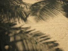 Kerala Asia India North-Kerala Kasaragod-District South-Asia Indien (hn.) Tags: shadow copyright india sand asia asien heiconeumeyer kerala palmtrees palmtree schatten palme indien coconutpalm malabar southasia copyrighted palmen coconutpalms kasaragod kokosnusspalme kokospalme northkerala coconutpalmtree kasargode pallikere coconutpalmtrees pallikara sdasien pallikare kasaragoddistrict kasargodedistrict nordkerala