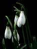 Snowdrops (Vicky...Lewis (www.vixgallery.com)) Tags: uk flowers winter england white plant black southwest green leaves leaf stem britain devon snowdrops fujifilm february rhs westcountry rosemoor torribgton