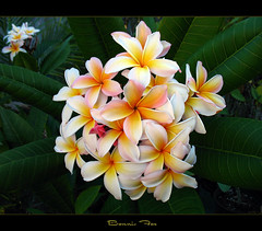 Hawaiian Flowers - The Plumeria Bonnie Fox (mad plumerian) Tags: flowers canon thailand hawaii florida plumeria hawaiian frangipani rare tropicals easterflowers tropicalflowers a620 kalachuchi hybrids rareplant landscapephotography rareplants exoticflowers flowersinbloom rareflowers rareplantsflowers hybridflowers lelavadee springflowerswallpaper