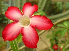 Don't forget to SmilE (Thai Jasmine (Smile..smile...Smile..)) Tags: smile thailand jasmine mind kindness redflower bkk adenium desertrose adeniumobesum dontforgettosmile suanluangramaixpark