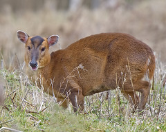 Muntjack (Andrew Haynes Wildlife Images) Tags: nature mammal wildlife deer warwickshire muntjack brandonmarsh canon7d ajh2008