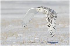 Owl (Snowy) - 1101 (Earl Reinink) Tags: flight raptor snowyowl snowyowlinflight earlreinink wwwearlreininkcom wwwipaintca