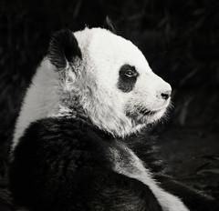 Pensive Panda (JLMphoto) Tags: china bear atlanta bw jeff nature animal giant fur mammal zoo panda wildlife stare pensive endangered gaze contemplative jmphoto milsteen
