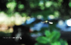 na mosca!!!!! (www.souleandromello.com) Tags: nikon natureza inseto mosca momentos vo detalhes d60 composio varejeira leandromello velocidadealta