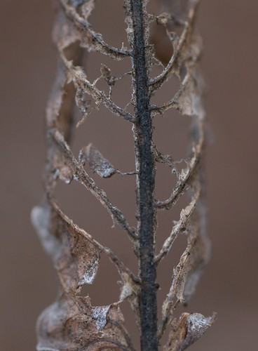 leaf-skeleton