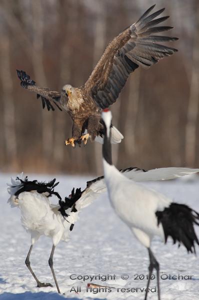 Eagle vs. Crane