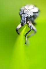 Non Nominatus (Muchilu) Tags: 6 macro insect nikon d pedro micro 60mm nikkor non escarabajo pere 90 bicho f28 insecto perico d90 pericu muchilujuanfcoturriera nominatus