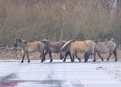 These winter the Konikhorses had the right away (wandelgraaf(mostly off)) Tags: flevoland almere oostvaardersplassen konikhorses konikpaarden iistvaarders