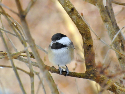 perfect chickadee 3