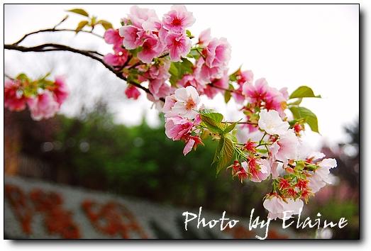 陽明山櫻花季7