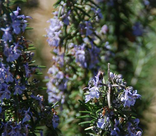 Bee-Rosemary