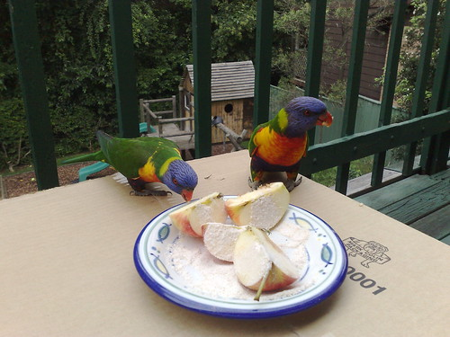 Rainbow lorikeets on the back deck