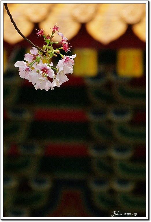 天元宮,櫻花 (25)