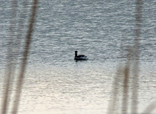 12115 - Black-necked Grebe at Kenfig NNR