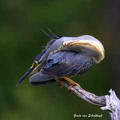 Green-backed contortionist (gerdavs) Tags: searchthebest greenbackedheron butoridesstriata specanimal lakepanic knp2009