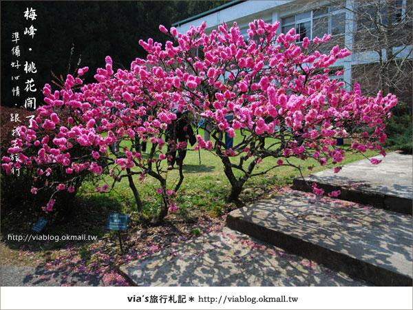 【梅峰農場桃花緣】最美的桃花隧道,就在南投梅峰這裡~(上)40