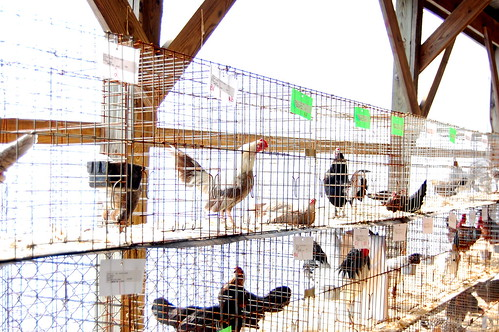 the poultry show