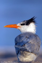 Royal Tern (mattlev12) Tags: unature