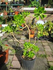 Sedum praealtum subsp. praealtum (Siempreviva, Greater Mexican Stonecrop) - Calandstr, Leiden, NL 8 Oct 2009 04 Leo