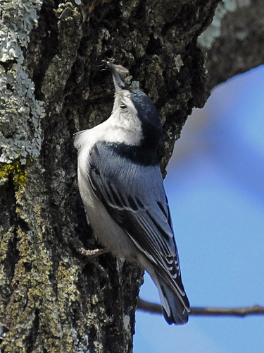 nuthatch catches bug