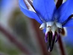 borago (safran83) Tags: blue flower macro fleur borage starflower bleue dcr250 bourrache fz38 hennysgardens