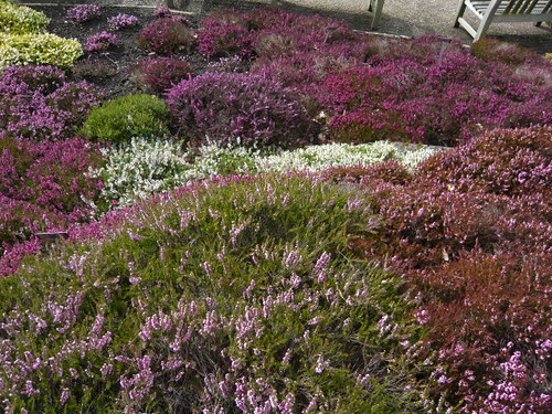 Ground cover March Heather