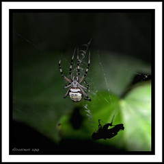 "La ""Veuve"" !!! (Alcosinus   ON/OFF... ) Tags: macro net nature spider insectes nationalgeographic araignes naturellement toiles naturepool extraordinarynature nikond90 alcosinus senourrir naturelibre sirhenryandco naturestyle arealgem zauberformel collectionnerlevivantautrement derkrake croquenature doubledragonawards nikond90pool nikond90club officialnationalgeographicgroup autourdupotager vivelanature flickrglobal lemondemerveilleuxdelaphoto rienquepournosyeux squaregallery histoirenaturellesansdiscussion arachnidesarachnidae"