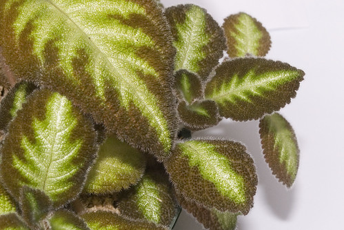 Episcia 'Blue Nile'