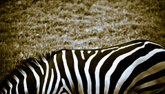 Untitled (Sami T (currently traveling)) Tags: travel canon turkey eos zoo zebra 28 dslr bursa 70200mm 40d eos40d canoneos40d