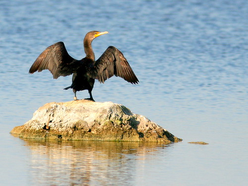 Double-crested Cormorant 20100403